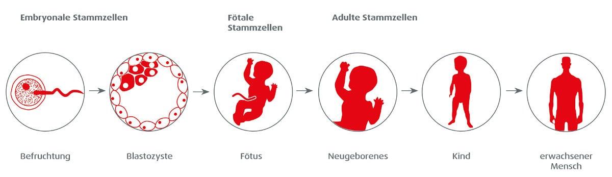 stammzellen-arten-und-aufgaben-ontogenese