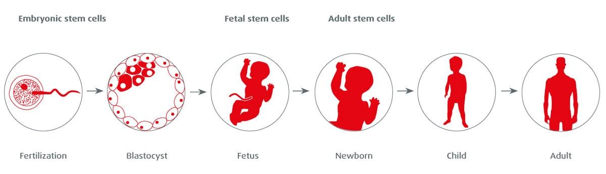 stem-cells-types-tasks-ontogenesis